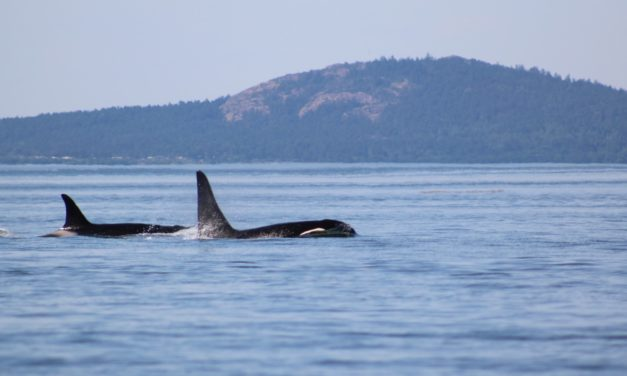 Boaters Encouraged to be Whale Wise for Orca Action Month