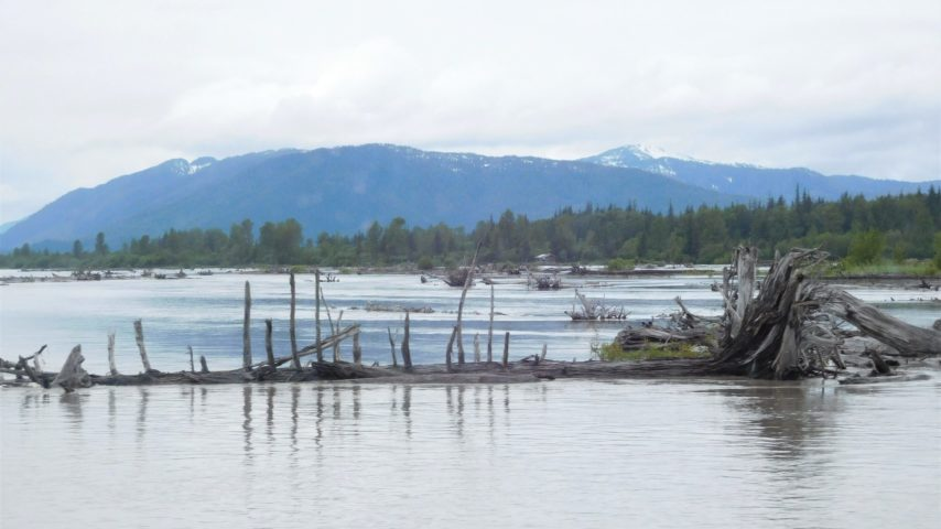 Dead trees floating or grounded on the delta