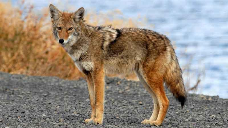 Coyote photo, long legs, pointed nose and ears; fluffy tail