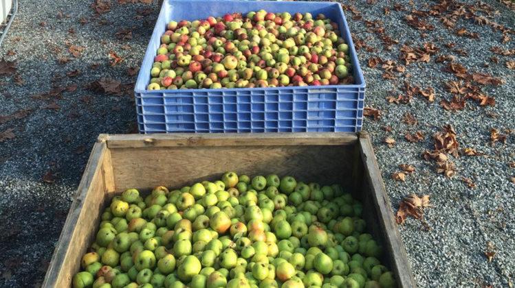 Bins of apples at the Salt Spring Cider House farm